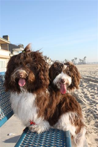 Chocolate_Havanese_Dogs_On_The_Beach