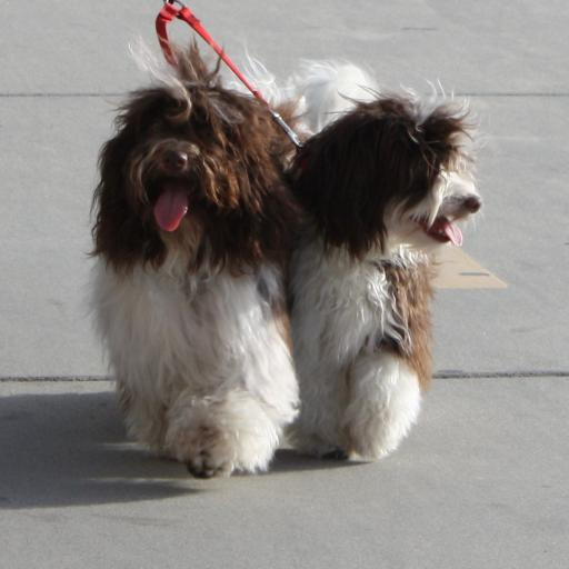 Chocolate_Havanese_Dogs