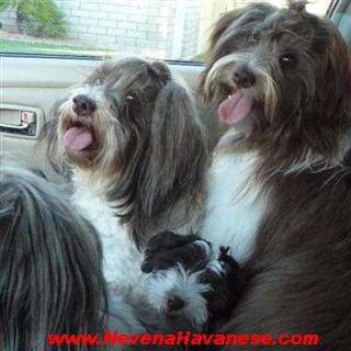 California Havanese Puppies For Sale, Red Havanese puppies