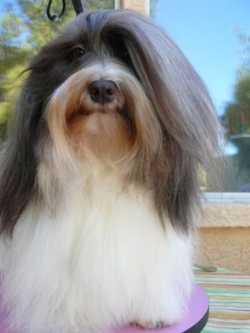 Chocolate_Parti_Havanese_Dog