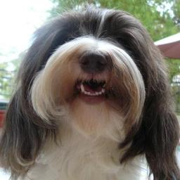 Chocolate _Parti_Havanese
