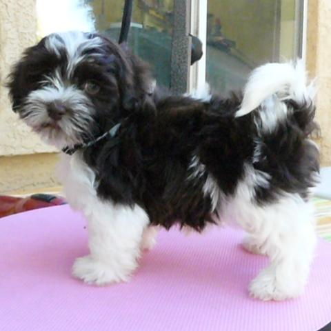 Havanese Puppies on Chocolate Havanese Puppy Puppies Submited Images   Pic 2 Fly