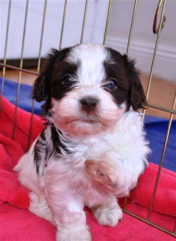 Chocolate_Havanese_Puppy