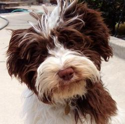 Chocolate_Havanese_Dog_And_Puppy