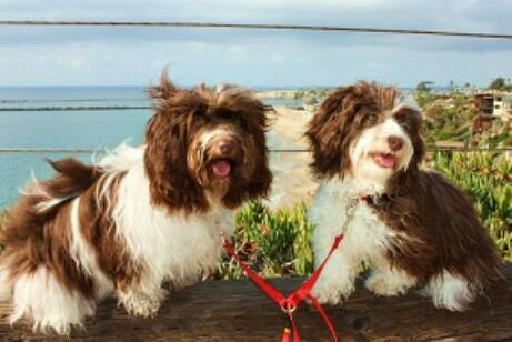 Chocolate_Parti_Havanese_Dogs_In_California