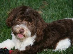 Chocolate_Havanese_Dog
