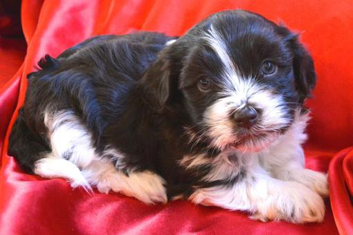 Chocolate Havanese Puppy Chocolate Havanese Puppy For