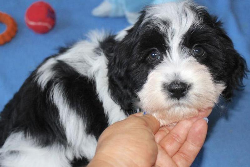 California Havanese Puppies Red Chocolate Black Gold White